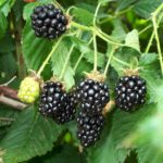blackberry-amora-negra