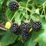 blackberry-amora-negra
